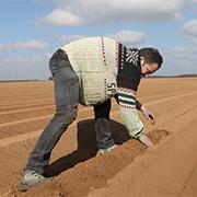 Le producteur s'assure que les plants de Ratte du Touquet soient plantés suffisamment profonds