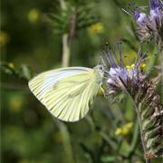Papillon butinant une fleur de phacélie